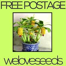 LOCAL AUSSIE STOCK - Dwarf Mini Banana, Bonsai Fruit Seeds ~5x FREE SHIPPING