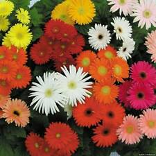 Gerbera Single Flowered Seed Mix Cut Flower Large Blooms Many Colours