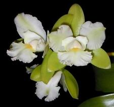Eplc. (Cattleychea) Siam Jade Orchid Plant
