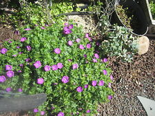 Hardy Geranium ground cover plants ,6 cuttings,Perennial, flowering