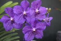 Strap Leaf Vanda Orchid Hawaiian Starter Plant 4 - 6 In. Tall  2.5 In. pot