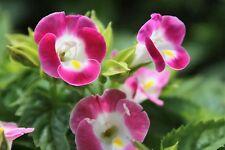 10 graines Torenia Kauai Magenta Torenia Fournieri, Wishbone Plant, chaleur tolérant