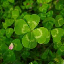 Clover Seed Lucky Grass Fragrant Lawn Groundcover for home garden planting 100%