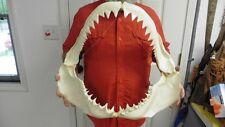 "(SJ130-5) Big RARE 22-1/4"" GREAT WHITE SHARK JAW jaws Teeth Tooth Carcharias"
