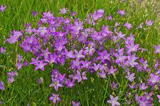 1.000 Samen Wiesen-Glockenblume Campanula patula Wiesenglocke, Wilde Glocken