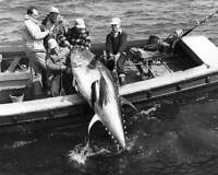 Tuna In The Strait Of Canso, Nova Scotia 1980 OLD FISHING PHOTO