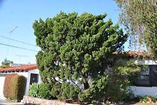 Chinese Junipe (Juniperus chinensis) 50 seeds