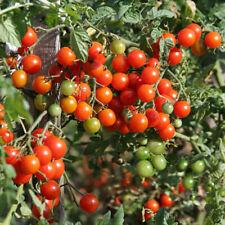 3x Tomato UKRANIAN PURPLE Plug Plant PREORDER No Seeds