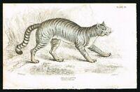 1834 Felis Catus, Domesticated Species Feline, Cat, Hand-Colored Antique Print