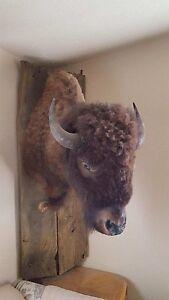 Buffalo Head and Shoulders Mounted on rustic barn wood