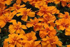 marigold, Tangerine gem, citrus Scented, 80 seeds! GroCo*