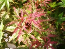 Japanese Maple 'Phoenix' Tree, Acer Palmatum 'Phoenix' 15-20cm Tall In 9cm Pot