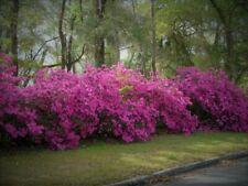 "Azalea 15"" plant color fuschia bright pink ready for bonsai or outdoor planting"