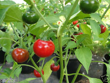 25 Cascabel Chili Pepper Seeds, Chile Bola, Rattle, Bell, Ball, Capsicum annuum
