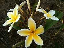 PLUMERIA CUTTING-name (MAUI SUN ) 8-12 INCH CUTS Fragrent Easy To Grow
