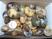 1 polished rare whole fat fossil nautilus ammonite.  0.075 to 0.10 pound lbs