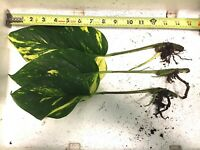RARE Hawaiian pothos 3 rooted cuttings with new stem sprout(bud) at base