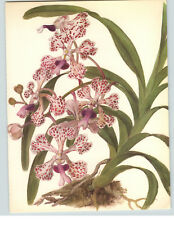 1922 Color Book Plate Framable Orchid Images Vanda tricolor Dark Mauve Spots