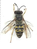 Beetle, Wasp, 20002, Hymenoptera, Bembix sp. from South Russia