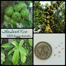10+ HAIRY FIG TREE SEEDS (Ficus hispida) Rare Native Fruit Birds Shade Bonsai