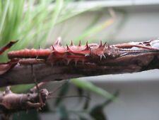 "Tisamenus sp. ""Palaui"" stick insect eggs 25 pcs."