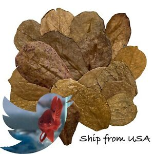 25 pcs Small Indian Catappa Almond Leaves For Betta And Shrimp- Premium Quality