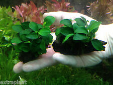 Anubias Nana 'Petite' on Driftwood | Live Aquarium Freshwater Plants Decorations