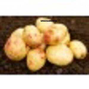 1kg  CARA Seed Potatoes  MAIN CROP SCOTTISH SEED