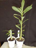 Double Black Rubies Adenium Obesum Desert Rose Rooted Seedling Plant