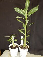 Purple Snow Adenium Obesum Desert Rose Rooted Seedling Plant
