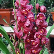 100Pc Dark Red Color Chinese Cymbidium Orchid Seeds Flower Plant Seeds New