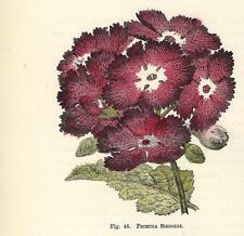 Stampa antica FIORI PRIMULA SIEBOLDI botanica 1896 Old Antique print