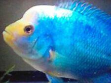 Blue Diamond Flowerhorn Cichlid- Live Tropical Fish