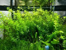 50+ Pearl Weed short stems Micranthemum Micranthemoides Live Aquarium Plant