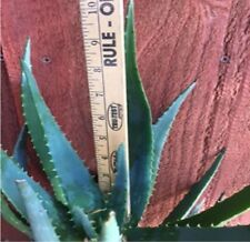 ALOE VERA Fresh Organic Leafs Medicinal Uses All Natural - Cut On Demand - Clean