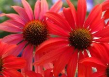 Echinacea Seeds -TOMATO SOUP - Attracts Butterflies - MEDICINAL HERB - 15 Seeds