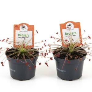 T&M Drosera Paradoxa Carnivorous House Plants 9cm Potted Garden Plants
