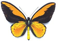 Butterfly ORNITHOPTERA CROESUS HELIOS (Kasiruta Is; mounted male) - VERY RARE