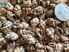 "1/2 Cup Of Small Nassarius Phyrrus Sea Shells - 1/2"" To 1"""