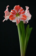 1 Bulb~Amaryllis Razzle Dazzle ® S. African Bulb, White w/Raspberry red Stripes
