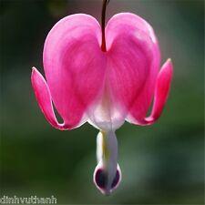 Dicentra Spectabilis Seeds, Heart-Shaped Flowers Garden Plant - 200 Seeds