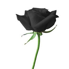 FD704 10 Seeds China Rare Black Rose Seed For Lover Black Rose Seed Fresh 10PCs✿