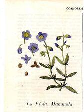 Stampa antica fiori VIOLA MAMMOLA botanica 1839 Old print flowers