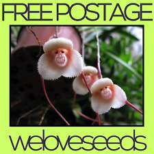 LOCAL AUSSIE STOCK - Monkey Face Orchid, Flower Bonsai Seeds ~50x FREE SHIPPING