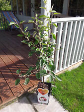 Dwarf Patio Malus domestica Idared 'Summerred' Eating Apple Tree In 5L Pot