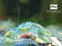 10+1 Blue Velvet Freshwater Neocardina Shrimp. Guarantee Live Arrival. Free Ship