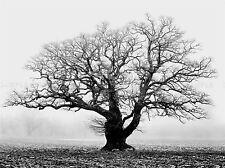 OLD OAK TREE BLACK WHITE MIST FOG PHOTO ART PRINT POSTER PICTURE BMP915A
