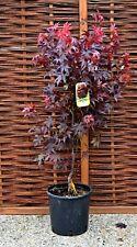Acer Palmatum Bloodgood Tree Purple Japanese Maple Large 10L Plant Pot