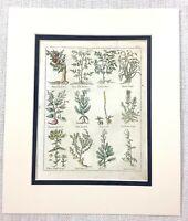 1810 Antik Botanische Aufdruck Quitte Baum Granatapfel Rettich Blatt Hand Farbig