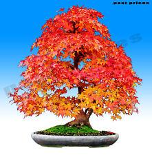 Colorful Canadian Maple Tree Seeds Mini Bonsai Plants seed (Acer Palatum)
